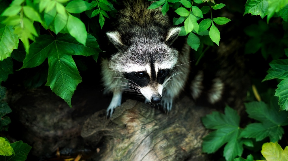 raccoon-1885137.jpg
